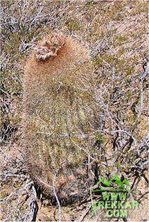 One of the varieties of Cactus