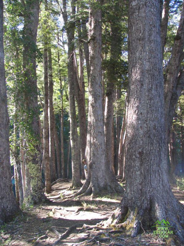 un bosque de coihues
