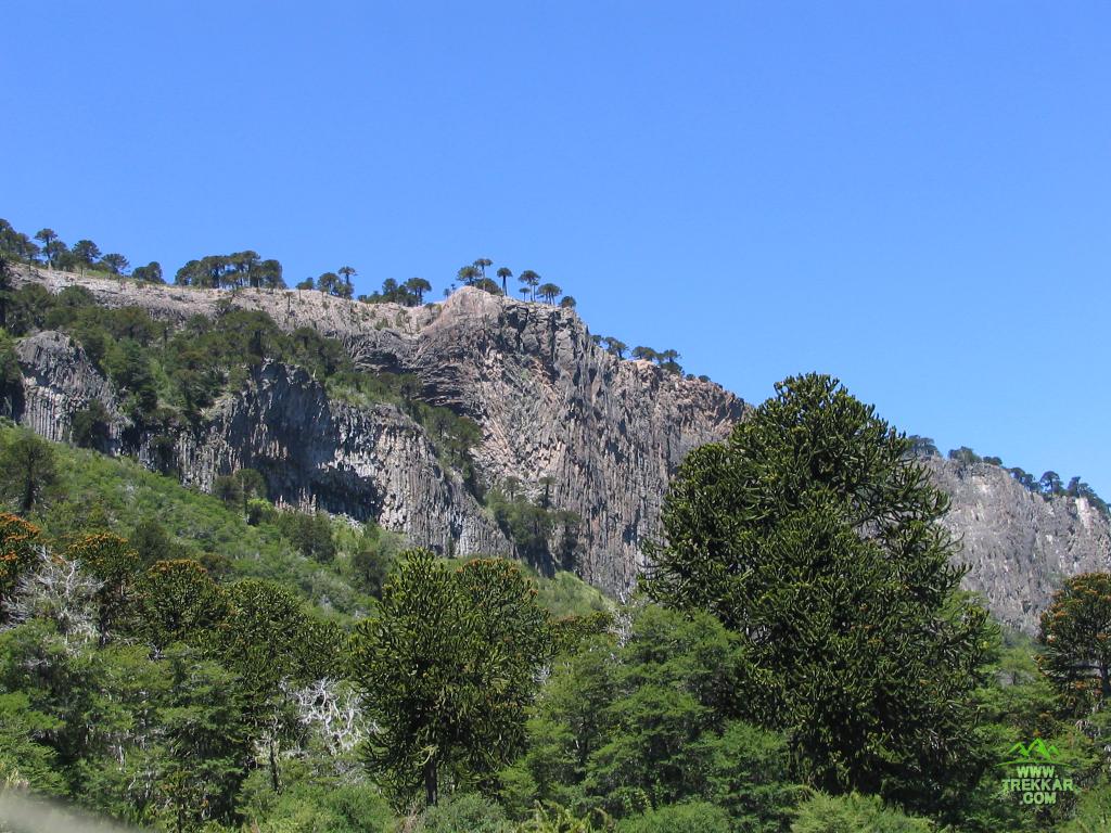 Bosque de pehuenes - Circuito Pehuenia